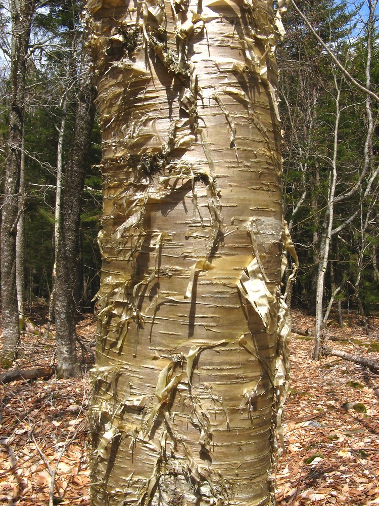 Swamp Birch (Betula pumila) -